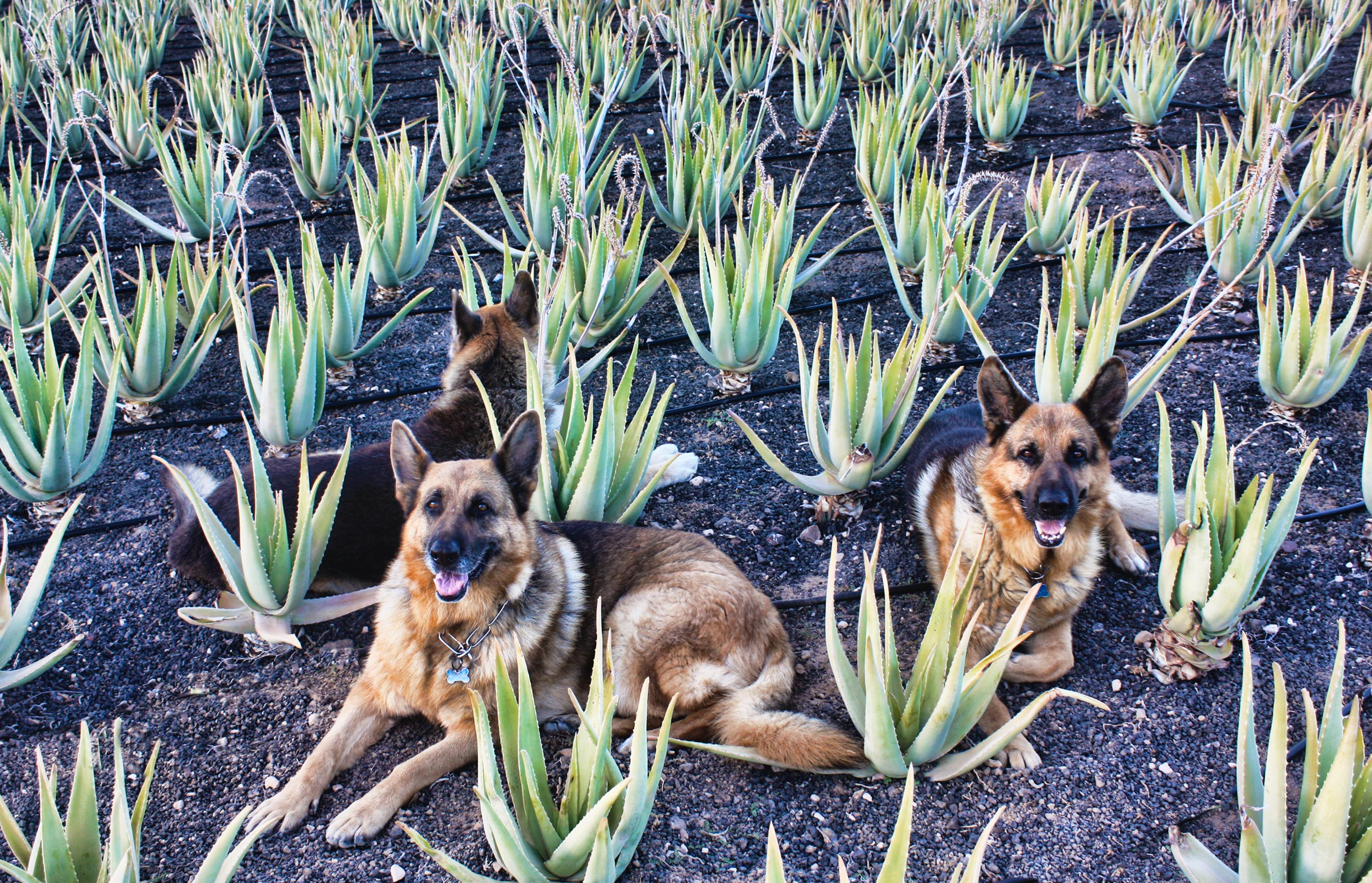 Aloe Vera for Dogs: an enhancer of the immune system
