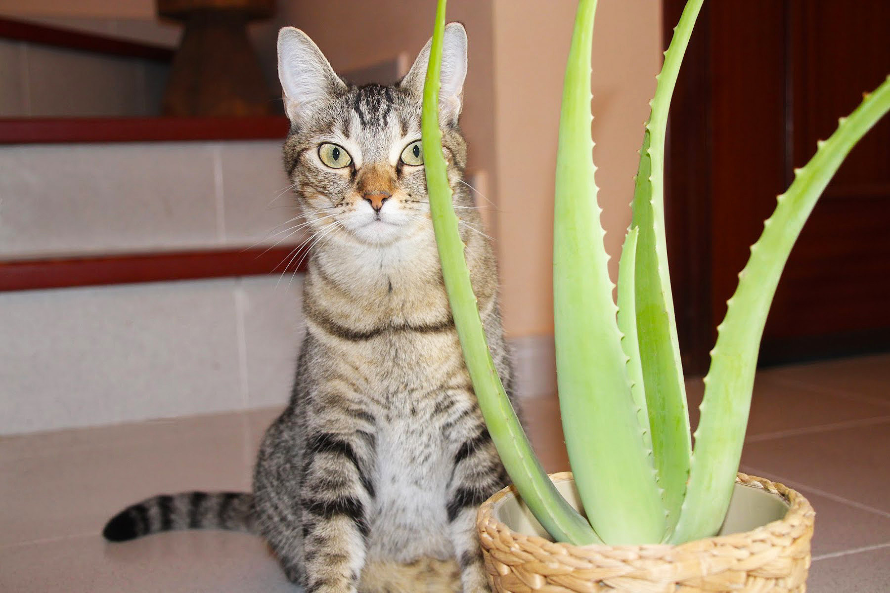 Aloe vera for cat skin