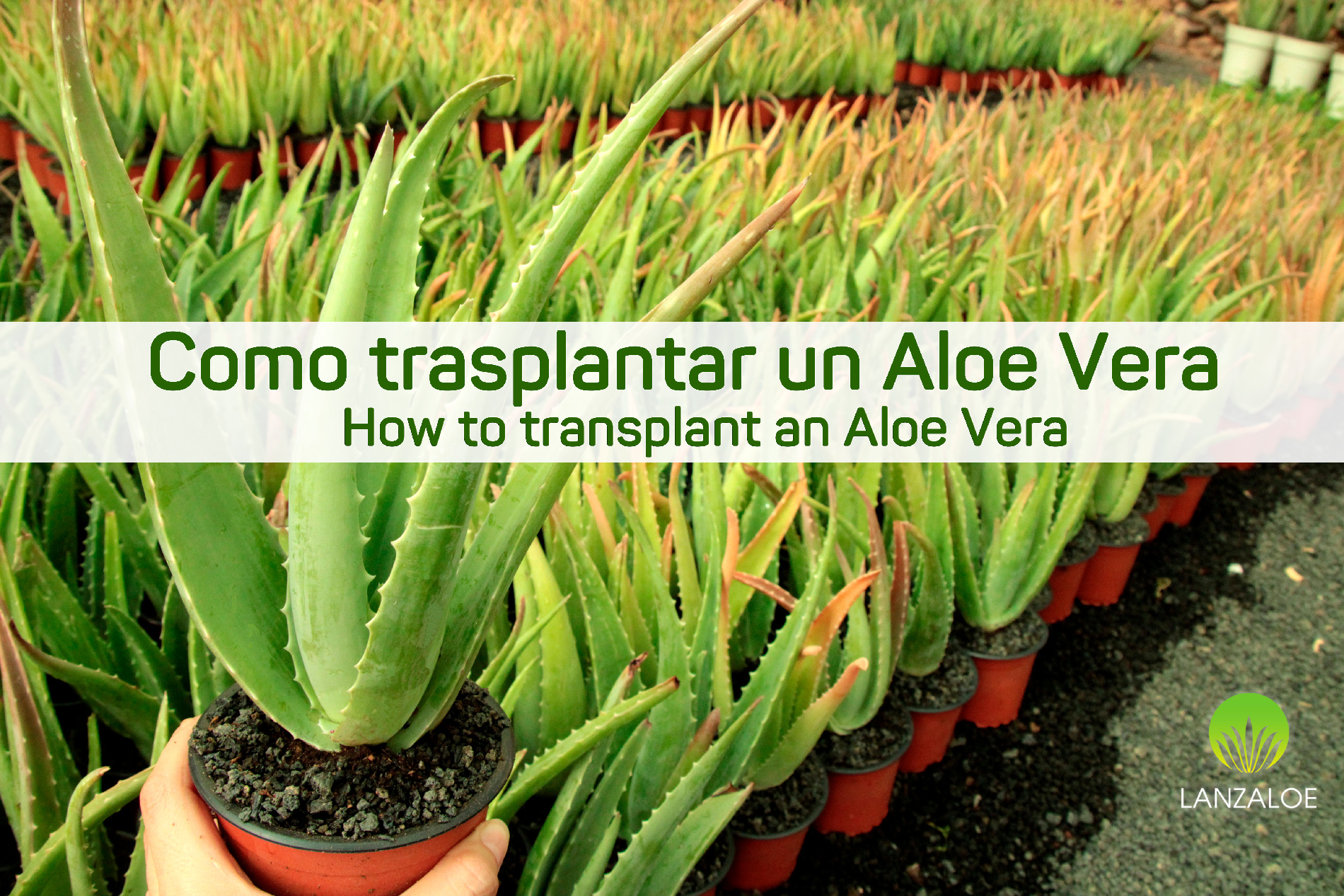 How to transplant an Aloe vera